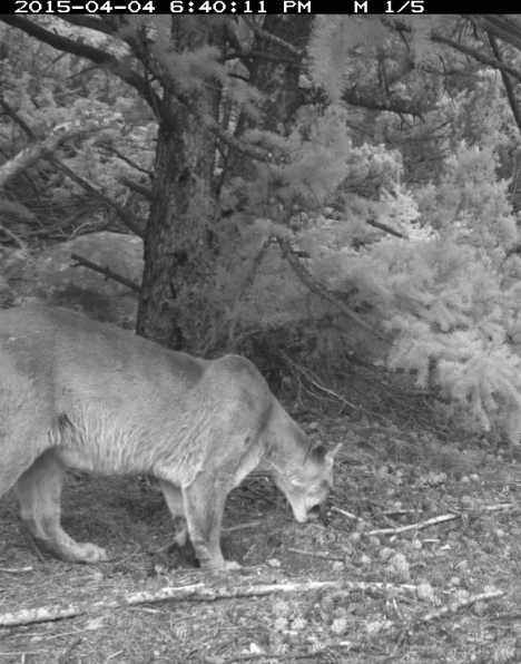 Female cougar checks out a scrape