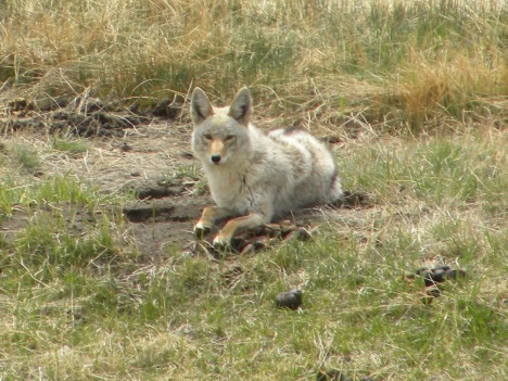 Coyote relaxing before she goes mousing again