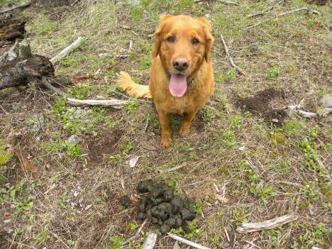 Koda shows the size of this bear scat
