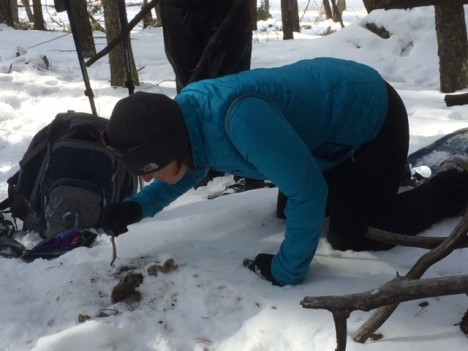 Examining cougar scat in the Park
