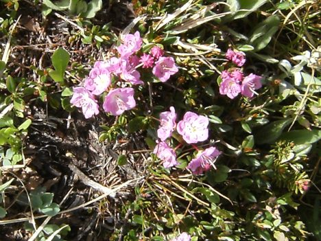 Kalmia, used by some tribes to commit suicide as it is deadly poisonous