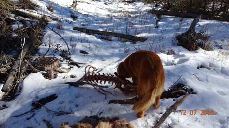Koda enjoys an elk carcass killed by wolves