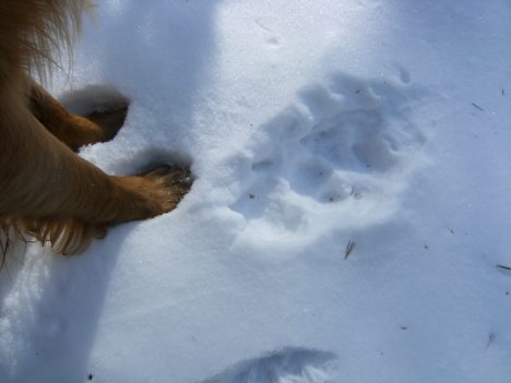 Koda compares his foot to a wolf track