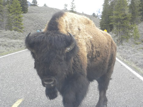Bison close to car