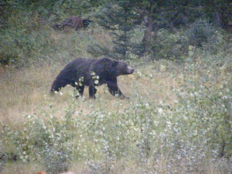 Young grizzly in the meadows by my house