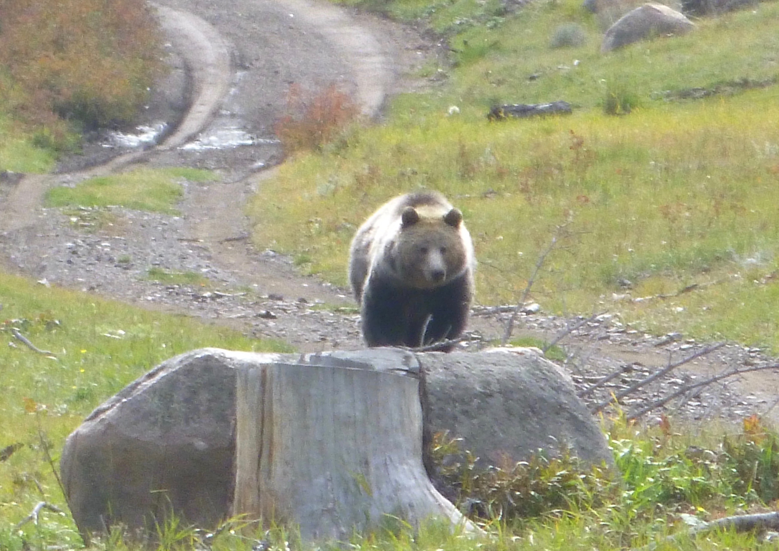 grizzly in east painter