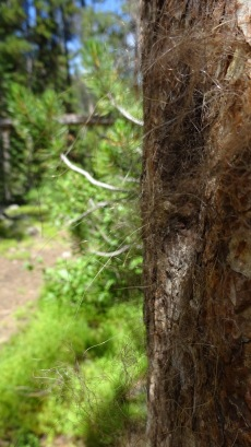 Same rub tree viewed up close so you can see bear fur on it