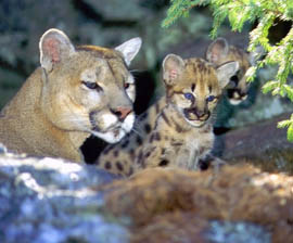 cougar-with-kits