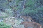 two cougars, mom andkitten