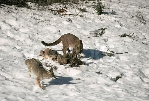 cougarcoyote
