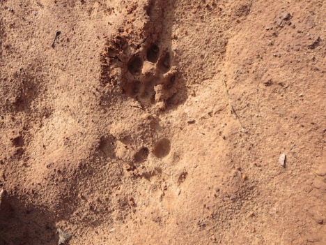 Bobcat prints in sand