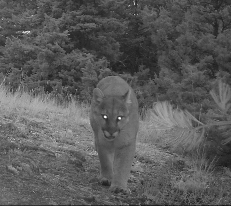 cougar male resident